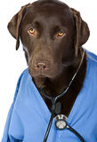 Doctor Labrador Royalty Free Stock Photos