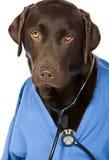 Doctor Labrador Royalty Free Stock Photos