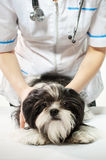 Doctor with puppy Royalty Free Stock Photography