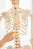 Doctor que señala en espina dorsal del esqueleto humano Imagen de archivo libre de regalías