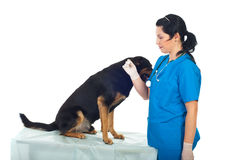 Doctor taking temperature to dog Royalty Free Stock Image