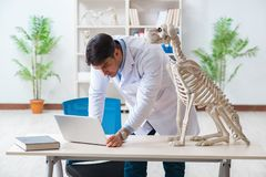 The doctor vet practicing on dog skeleton. Doctor vet practicing on dog skeleton stock images