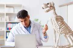 The doctor vet practicing on dog skeleton. Doctor vet practicing on dog skeleton royalty free stock photo