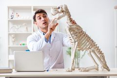 The doctor vet practicing on dog skeleton Royalty Free Stock Images