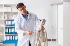 The doctor vet practicing on dog skeleton Royalty Free Stock Photos
