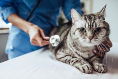 Doctor veterinarian at clinic. Cropped image of beautiful female doctor veterinarian with stethoscope is examining cute grey cat at vet clinic Royalty Free Stock Images