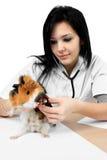 Doctor veterinario que hace un chequeo de un animal doméstico Imágenes de archivo libres de regalías