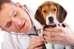 Doctor veterinario y un perrito del beagle Fotos de archivo libres de regalías