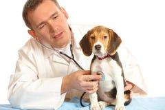 Doctor veterinario y un perrito del beagle fotografía de archivo libre de regalías