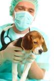 Doctor veterinario y un perrito del beagle Foto de archivo libre de regalías