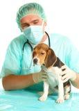 Doctor veterinario y un perrito del beagle Imagen de archivo libre de regalías