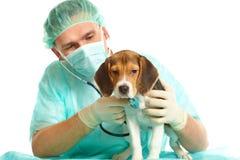 Doctor veterinario y un perrito del beagle Imagenes de archivo