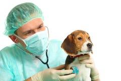 Doctor veterinario y un perrito del beagle Imagen de archivo