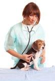 Doctor veterinario y un perrito del beagle fotografía de archivo