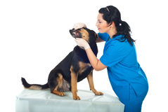 Doctor veterinary examine teeth dog Royalty Free Stock Photo