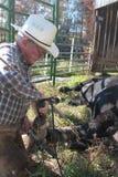 Doctoring the Bulls Hoof Stock Photo