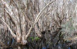 Document Bomen in Westelijk Australië Stock Afbeelding