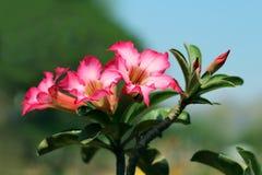 Document de bloesem of de roze Lelie van de azaleaimpala bloeit purple met dichtbegroeide mooi op zachte en onduidelijk beeldacht Stock Afbeelding