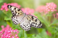 Document vliegervlinder die (boomnimf) nectar van roze bloemen verzamelen Stock Afbeelding