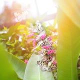 Document vliegervlinders die (boomnimf) nectar van roze bloemen verzamelen Stock Afbeelding