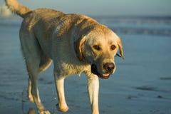 Documentalista di labrador alla spiaggia Immagini Stock Libere da Diritti