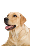 documentalista di labrador del cane Fotografie Stock