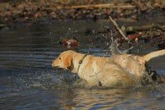 Documentalista di labrador dorato Fotografia Stock Libera da Diritti