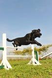 Documentalista di labrador nell'agilità Fotografia Stock