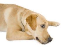 Documentalista di labrador sonnolento del cucciolo Fotografie Stock Libere da Diritti