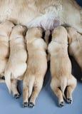 Documentalista dorato con i cuccioli Fotografia Stock Libera da Diritti