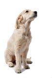 Documentalista dorato del cucciolo fotografia stock libera da diritti