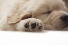 Documentalista dorato dell'animale domestico del cane Fotografia Stock