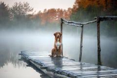 Documentalista suonante dell'anatra di Nova Scotia sul bacino Il cane alla l Immagine Stock