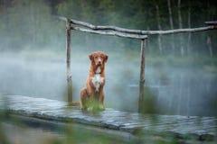 Documentalista suonante dell'anatra di Nova Scotia sul bacino Il cane alla l Fotografia Stock