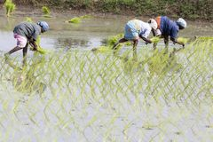 Documentary editorial image. Unidentified group of women transplanted rice shoots they plant the new crop in the rice paddy. Stock Images