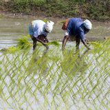 Documentary editorial image. Unidentified women transplanted rice shoots they plant the new crop in the rice paddy. Royalty Free Stock Images