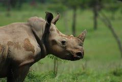 Documentary: White Rhinocerus(Ceratotherium simum) Stock Image