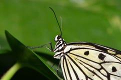 Documento di riso: (Farfalla del lenconoe di idea). Immagini Stock