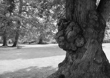 8 dodatkowego eps formata ilustratora dębowy drzewo Fotografia Royalty Free