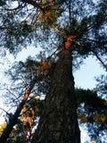 8 dodatkowego eps formata ilustratora dębowy drzewo Zdjęcia Stock
