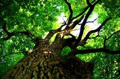 8 dodatkowego eps formata ilustratora dębowy drzewo Zdjęcie Royalty Free