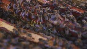8 dodatkowy pszczół eps formata honeycomb ilustrator Pszczelarka delikatnie usuwa pszczoły od ramy pasieka makro- zbiory