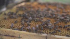 8 dodatkowy pszczół eps formata honeycomb ilustrator Pszczelarka delikatnie usuwa pszczoły od ramy pasieka makro- HD zbiory wideo