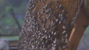 8 dodatkowy pszczół eps formata honeycomb ilustrator Pszczelarka delikatnie usuwa pszczoły od ramy pasieka makro- 4K zbiory wideo
