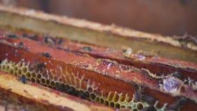 8 dodatkowy pszczół eps formata honeycomb ilustrator Pszczelarka delikatnie usuwa pszczoły od ramy pasieka makro- swobodny ruch zbiory