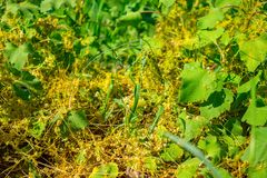 Dodder ( Γένος Cuscuta)  είναι παρασιτικός και συνολικά εξαρτώμενος από άλλες φυτών ξενιστών για την επιβίωση στοκ εικόνα με δικαίωμα ελεύθερης χρήσης