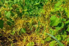 Dodder ( Γένος Cuscuta)  είναι παρασιτικός και συνολικά εξαρτώμενος από άλλες φυτών ξενιστών για την επιβίωση στοκ εικόνες