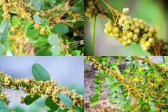 Dodder Genus Cuscuta is a parasitic plant Set of four photos royalty free stock photography