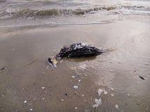 Dode aalscholver op het strand Royalty-vrije Stock Afbeelding