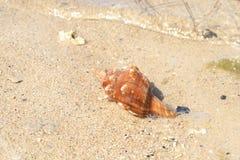 Dode aan wal gewassen zeeschelp Stock Foto's
